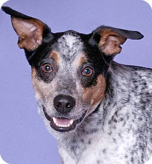 Cattle Dog Mix Dog for adoption in Chicago, Illinois