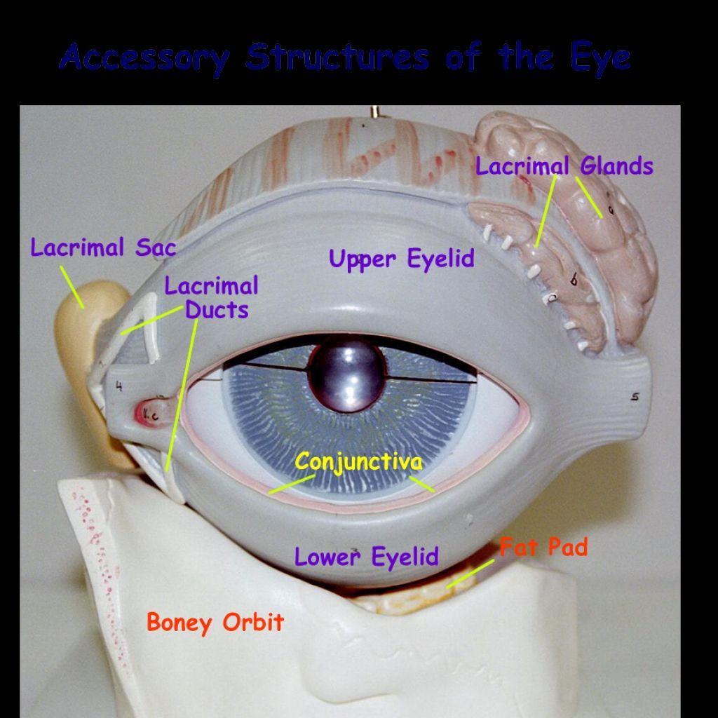 Eye Model Labeled Anatomy Eye Anatomy Model Labeled With