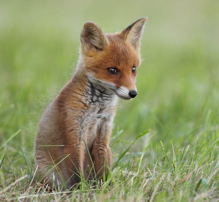 beautiful-wildlife:  Fox KitbyLilli Lehmann