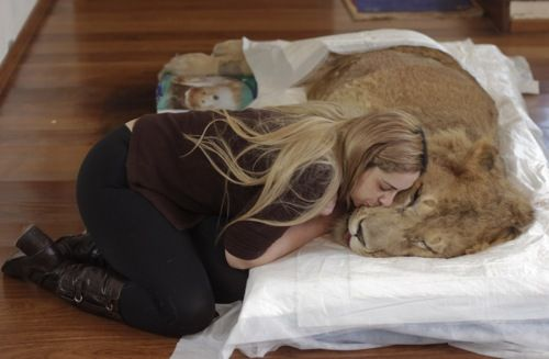 Veterinarian Livia Pereira kisses paralyzed lion Ariel who she is caring for in her home in Sao Paulo, Brazil, Wednesday July 13, 2011. An Internet and Facebook campaign has been launched in Brazil to obtain funds needed to treat the lion that has been paralyzed for the past year. The campaign was launched by Raquel Borges, the owner of Ariel, a three-year-old, 310 pound (140 kilogram) lion that has been unable to use his four legs due to a degenerative disease affecting his medulla. Borges…