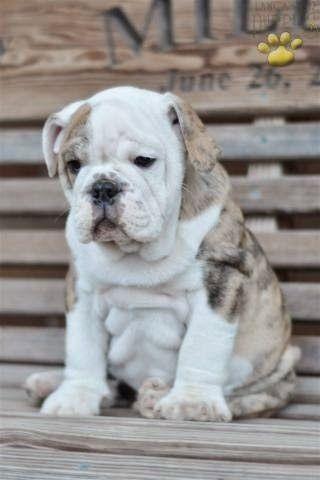 Puppies For Sale Bulldog Puppies English Bulldog Puppies Cute Puppies