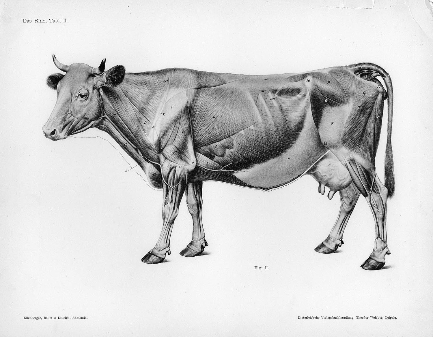 Cow muscles side | Cows & Bulls | Pinterest | Cow, Anatomy and ...