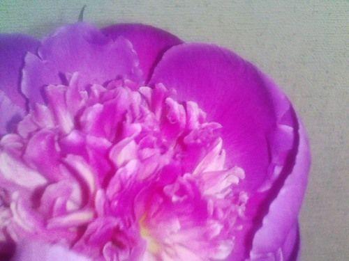 芍薬の花。