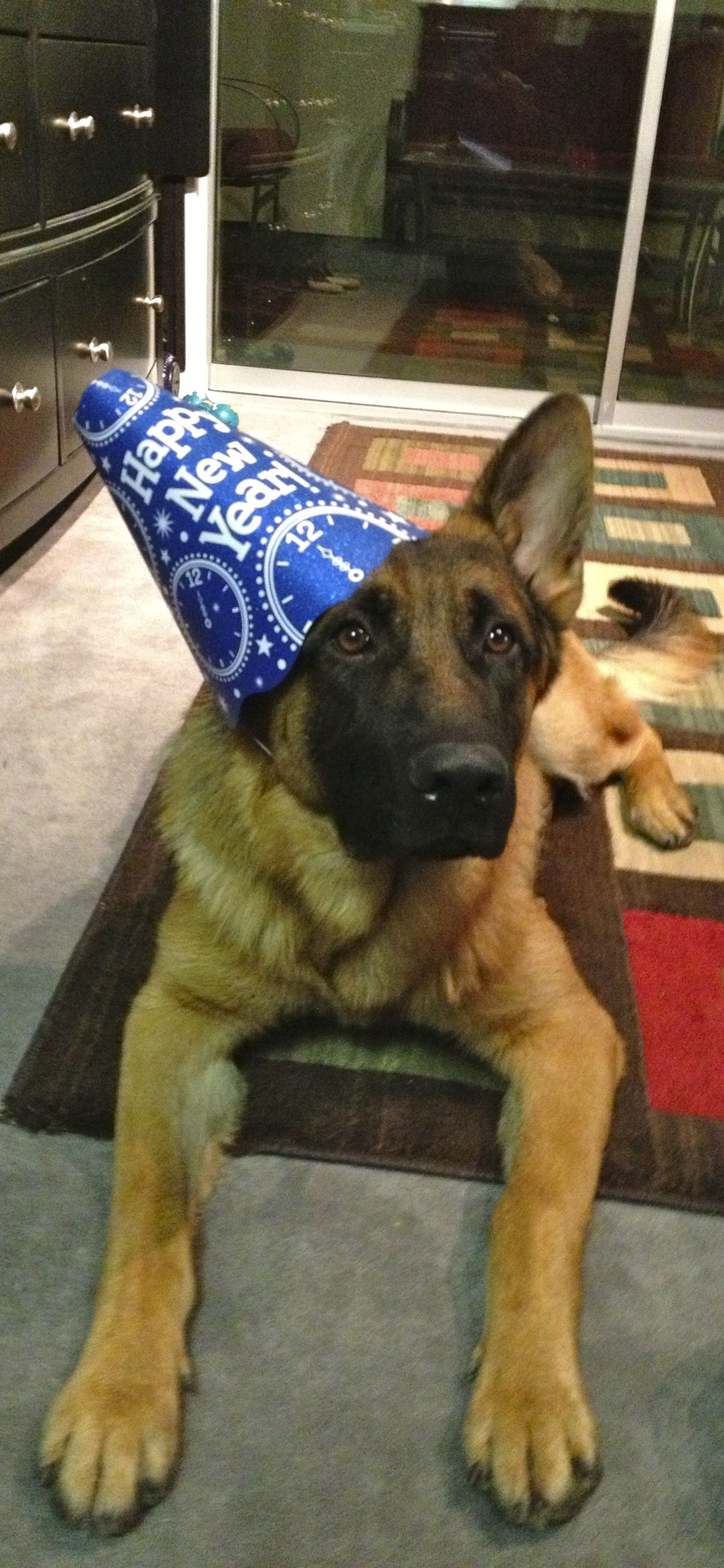 Happy New Year From Your German Shepherd German Sheperd Dogs