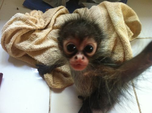 Baby Monkey In 2020 Cute Baby Monkey Cute Animals Funny Animals
