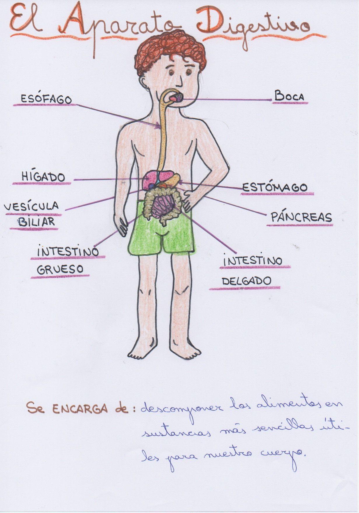El aparato digestivo y sus principales órganos para 3º de