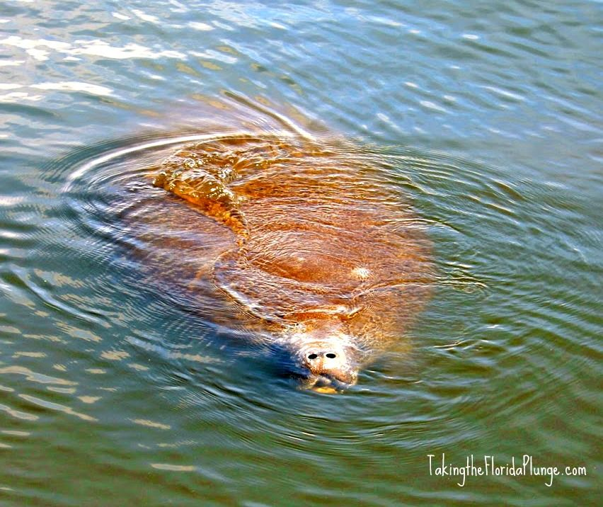 Day Trip To Manatee Deck At Haulover Canal In Titusville Floria Southern Travel Titusville Florida Day Trip