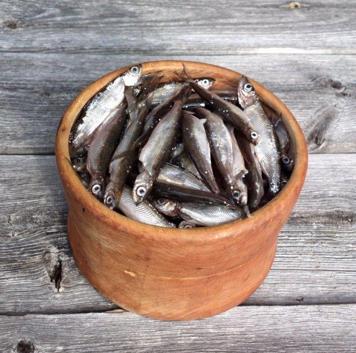 Muikkuja kipossa Miekojärvellä Pellossa
