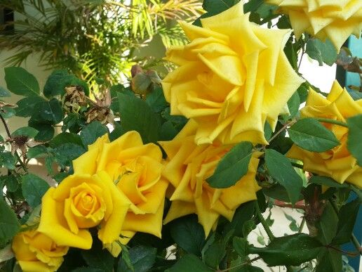 الورد اﻻصفر Flowers Rose Plants