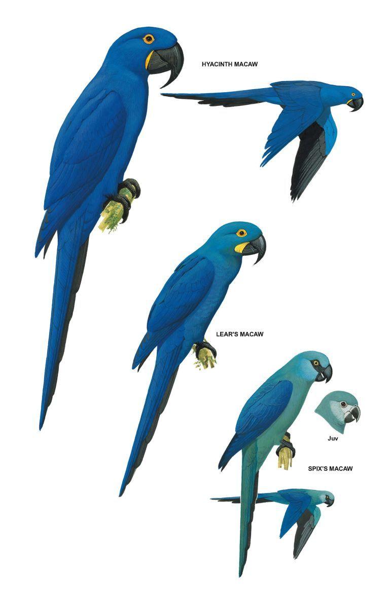 am beliebtesten modische Muster 100% Qualität Pin on Spix's Macaw