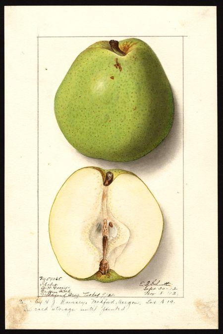 Schutt, Ellen Isham, Pyrus communis pears, Idaho 1912