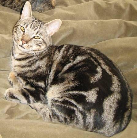 Lost Male Cat-Black & Grey Bengal Mix w/ Unusual Markings ...