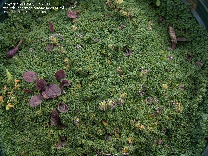 10 2009 Lucas Nursery Ypsilanti Mi Elfin Thyme Creeping Nurseryground Coveringdeliciousseedsnurseries