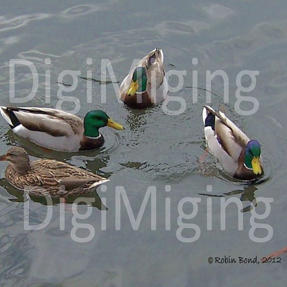 Ducks on a Silver Pond ~ by DigiMiging
