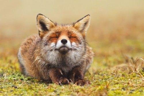 "Animal Life on Twitter: ""Zen Fox https://t.co/n3Wd5aruIh"""