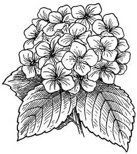 Realistic Hydrangea Coloring Page Yahoo Image Search Results
