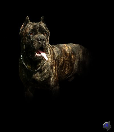 Rankore Cane Corso Bully Breeds Big Dogs