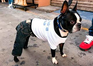 Jeans on a boston terrier. that is too cute