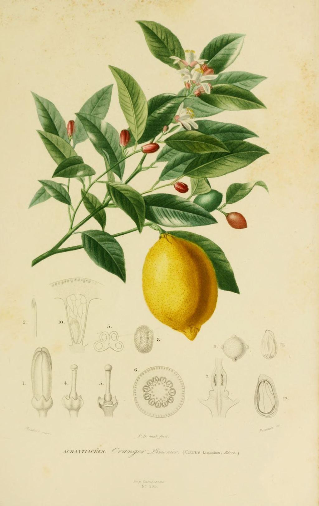 img dessins couleur fleurs dessin botanique de fleur 0151 oranger limonier citronnier citrus. Black Bedroom Furniture Sets. Home Design Ideas