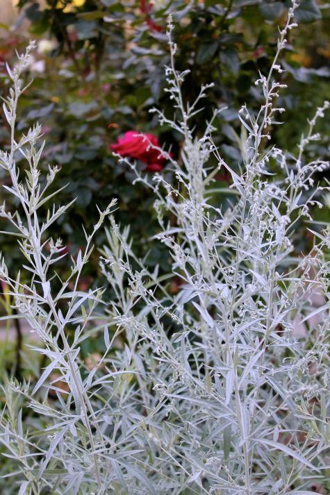 Silver King Artemesia 2 Foot Tall Upward Growing Shrub