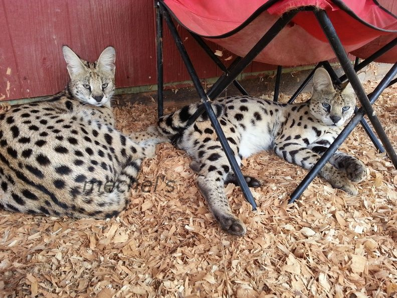 Contact Information For Rehome Or Adoption Serval Kitten Kitten Serval