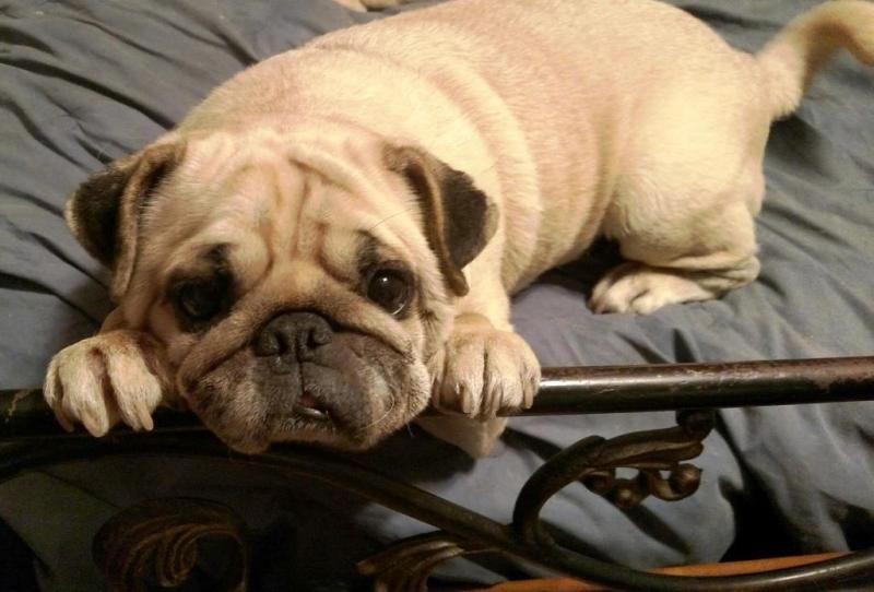 Adopt Bernadette on Pugs, Pets, Bulldog