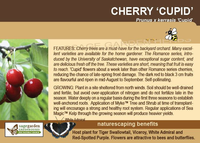 Cupid Cherry Zone 3 Self Pollinating 2m Tall Blooms Later To Avoid Frost Growing Fruit Cherry Live Plants