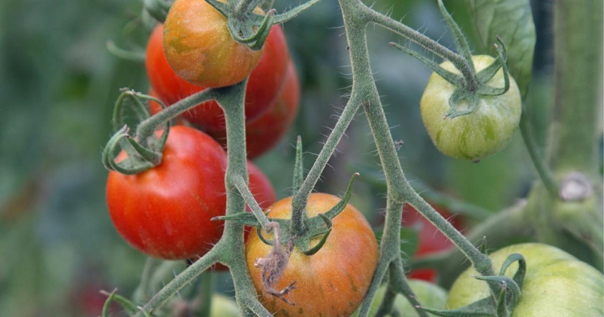 Tomaten Anbauen So Gelingt Das Lieblingsgemüse Nutzgarten Pinterest
