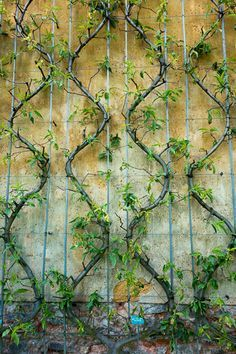 landscaping vertical espalier shade - Google Search