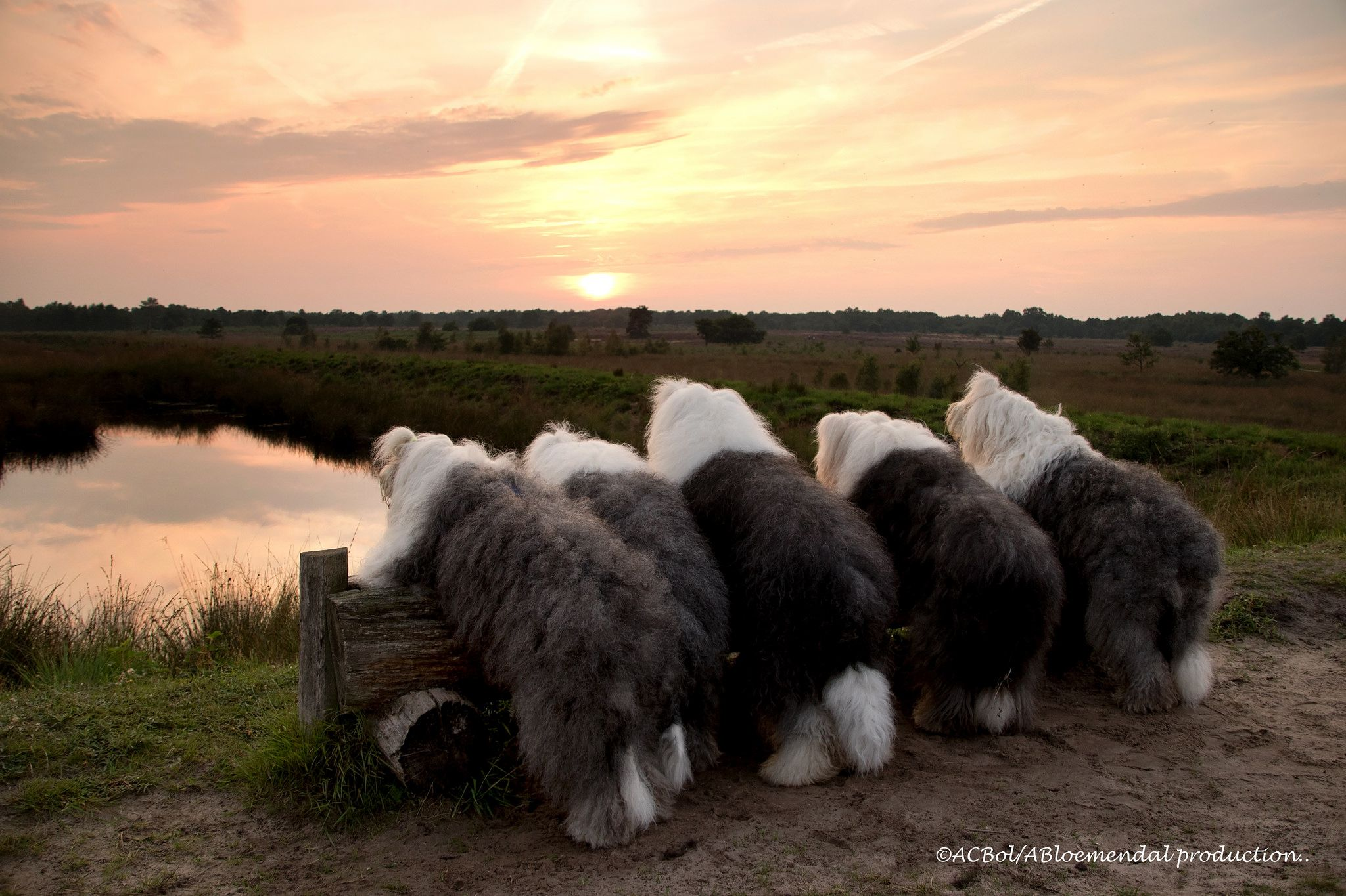Watching the sun go down Old english sheepdog, English