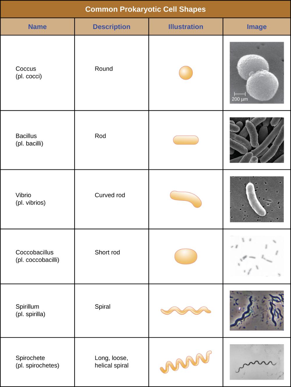3.3 Unique Characteristics of Prokaryotic Cells