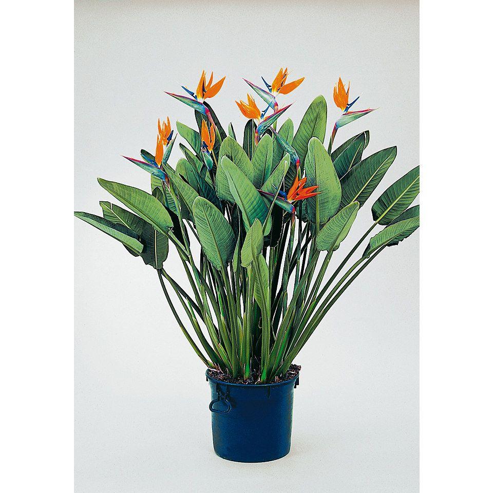 Paradiesvogelblume kaufen im zimmerpflanzen shop von for Shop zimmerpflanzen