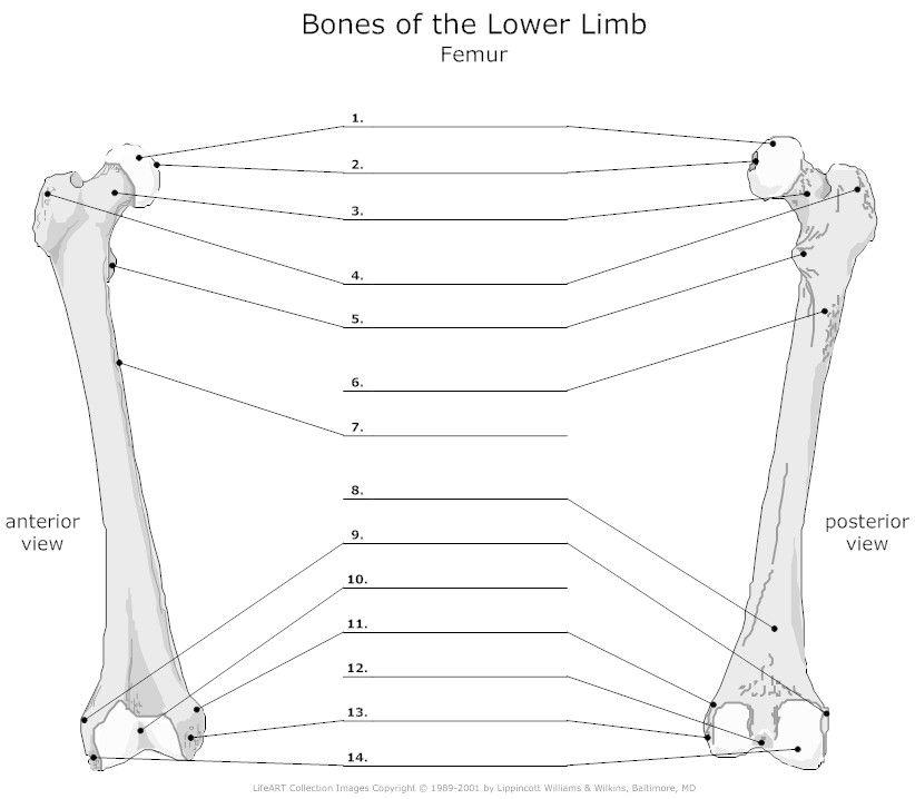Learn: Femur Bone (by ellenwelu) - Memorize.com - Remember ...