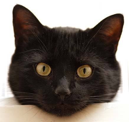 """""""If a black cat crosses your path, it's a sign that the"""