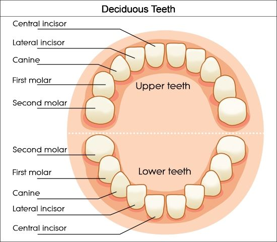 Dental charts to help you understand the tooth numbering system labeled diagram of milk teeth ccuart Gallery