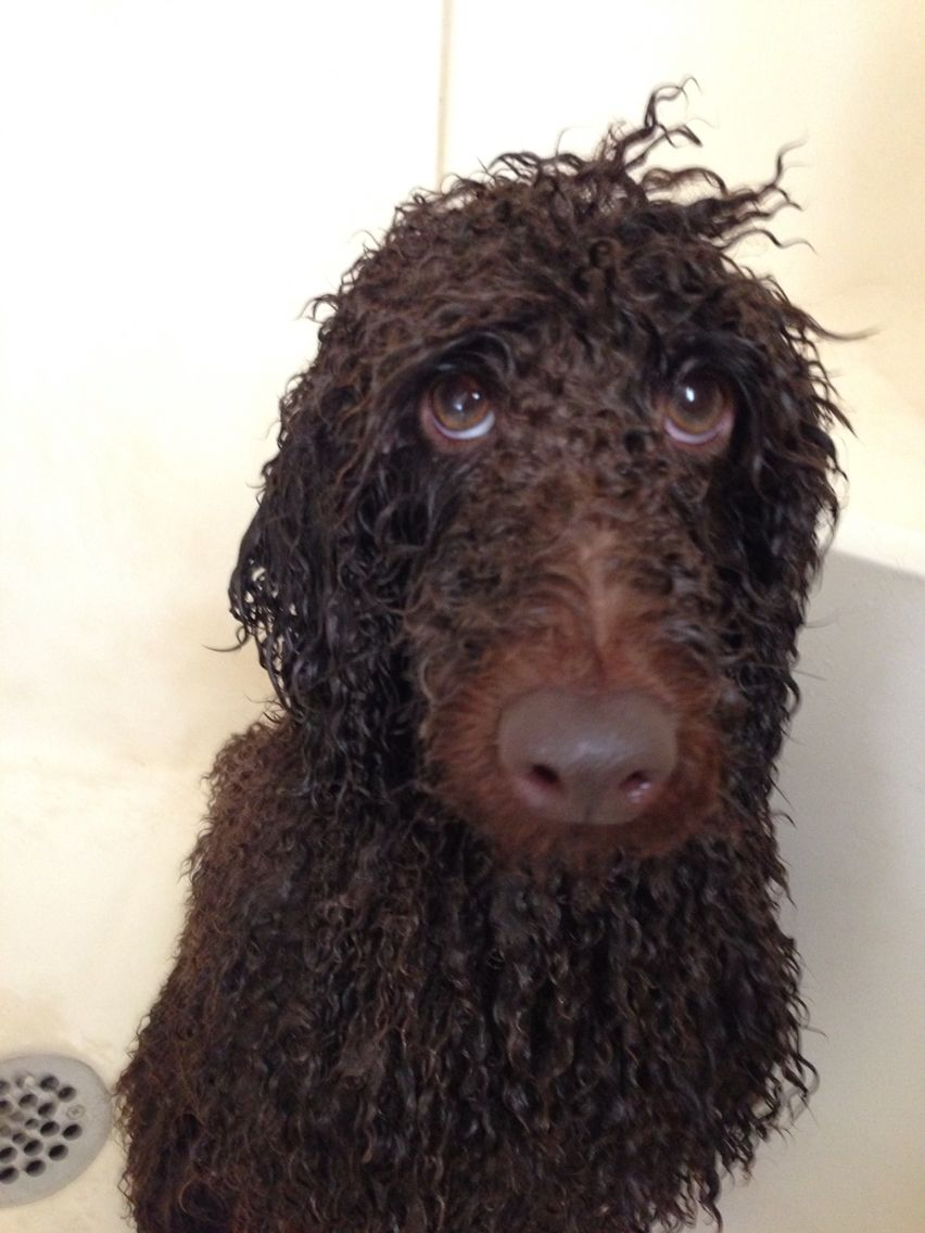 Never Pleased With Me At Bath Time What A Wet Poodle Dog Hat