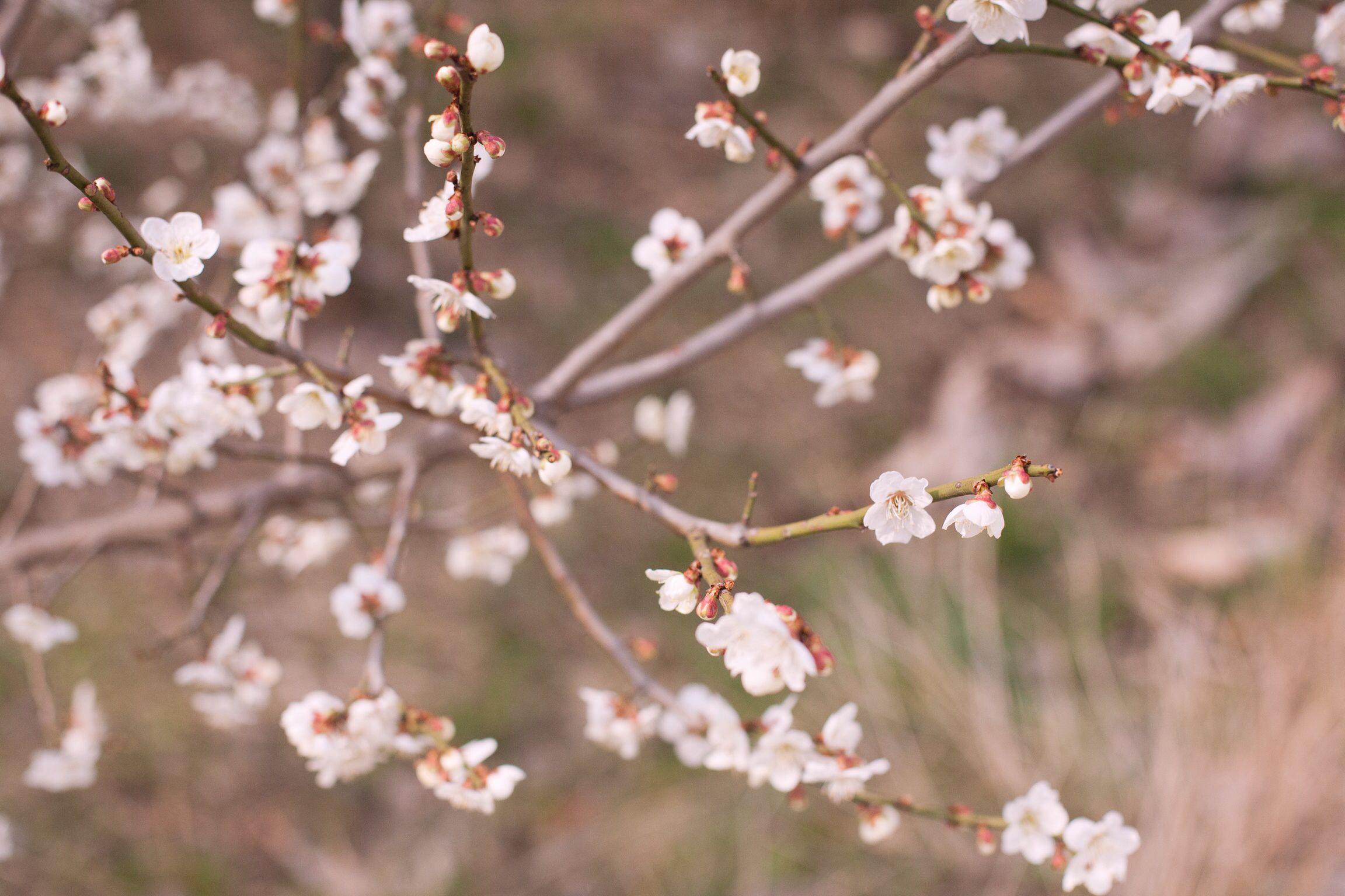 Japanese apricot flower :-)