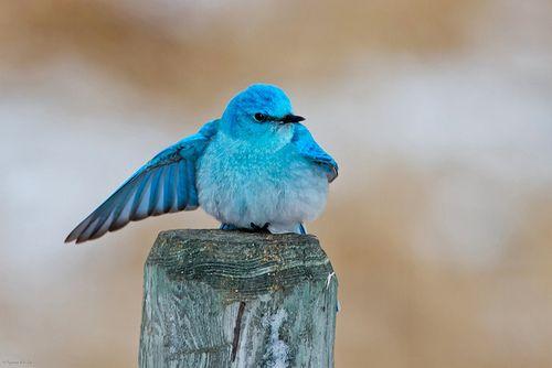 Mountain Bluebird Male by Raymond Lee Photography