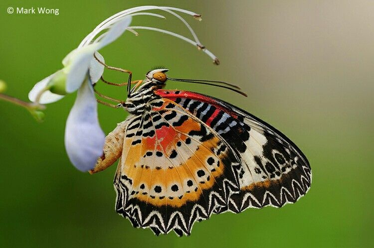 Cethosia Cyane Insekten Schmetterling Knospe