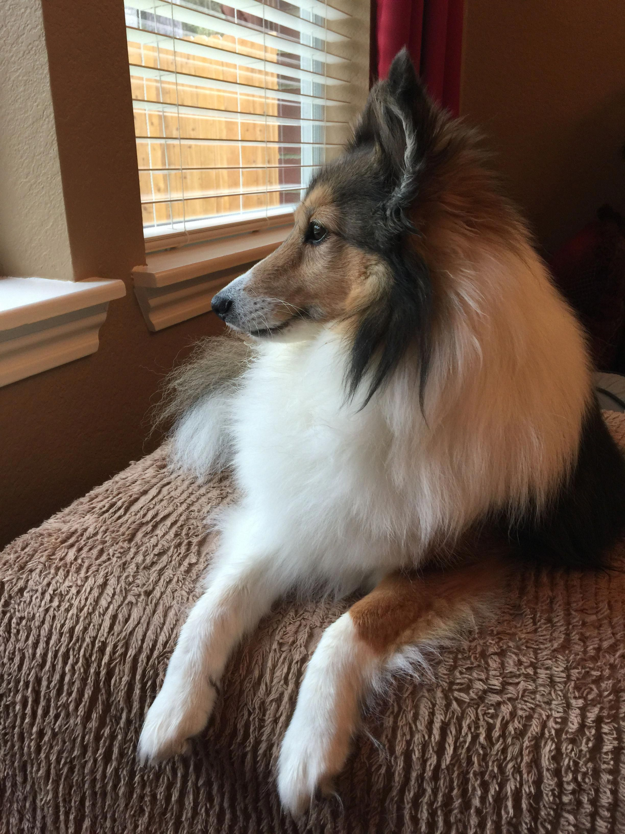 More About Energetic Shetland Sheepdog Puppies Exercise Needs