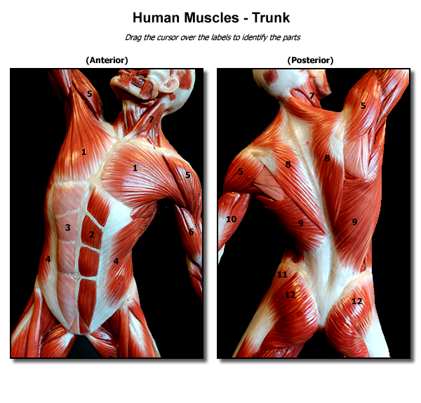 Human Muscle Man Trunk muscles | Anatomy for figure drawing ...