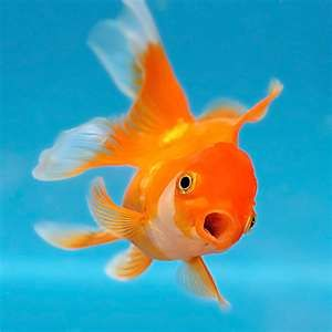 A Pregnant Goldfish Is Called A Twit So Is My Ex Sister In Law True Story Fish Pet Fish Goldfish