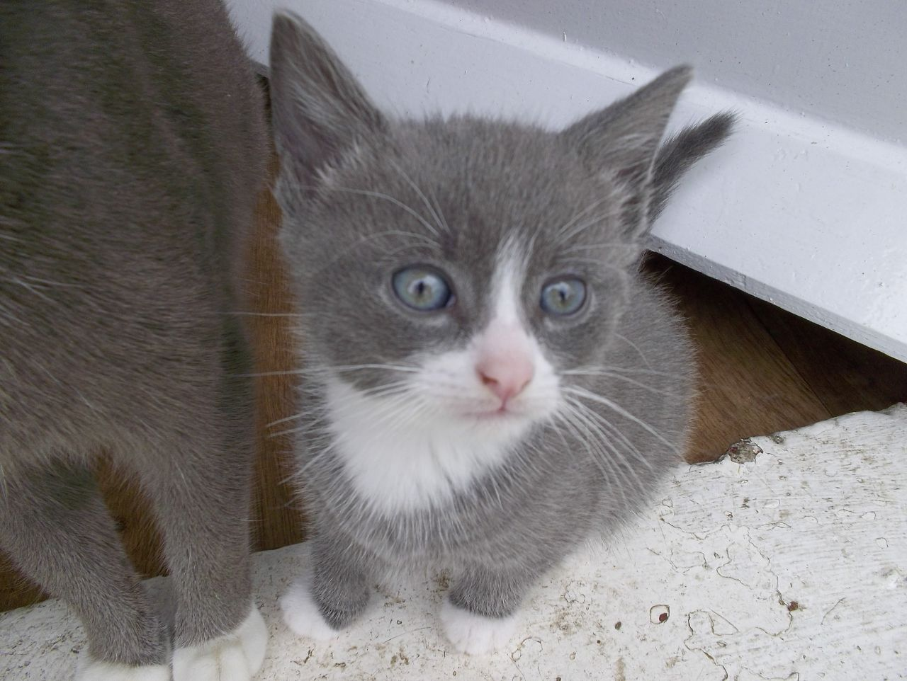 Gray And White Kittens For Sale | Darlington, County Durham ...