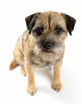 Border Terrier Looks just like my dog Jack! (With images