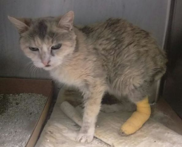 Josie A1087229 Brooklyn To Be Destroyed 08 31 16 Josie The 10 Year Old Just Weights 5 Pounds Needs Out Asap Josie Foster Cat Cats Pets