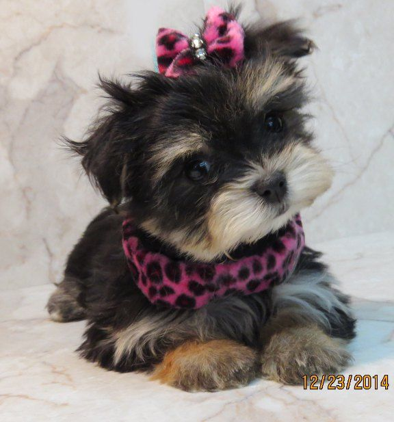 Www Ohpuppylove Com Dog Breeds Morkie Shorkie Maltipoo Poodle Mix Maltipoos For Sale Maltipoo Maltese Poodle Puppies Morkie Puppies Morkie Puppies For Sale