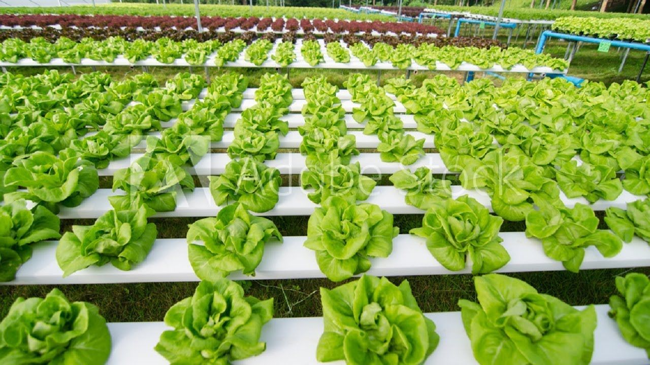 Awesome Vegetable Harvesting Technology Amazing Modern Harvesting Mach In 2020 Vegetables Amazing Harvest