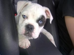 Adopt Blue On Bulldog Rescue Dogs Cute Photos