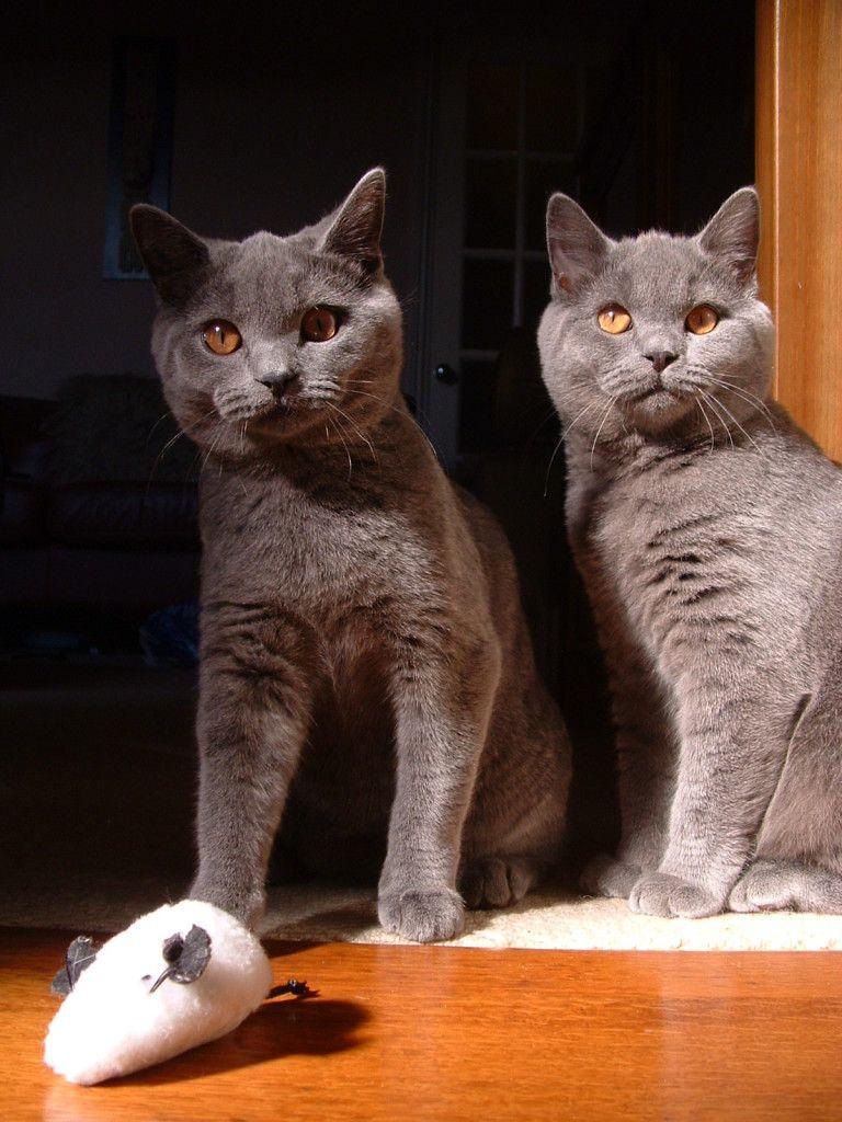 British shorthair cat Top 15 most Cutest cat breeds