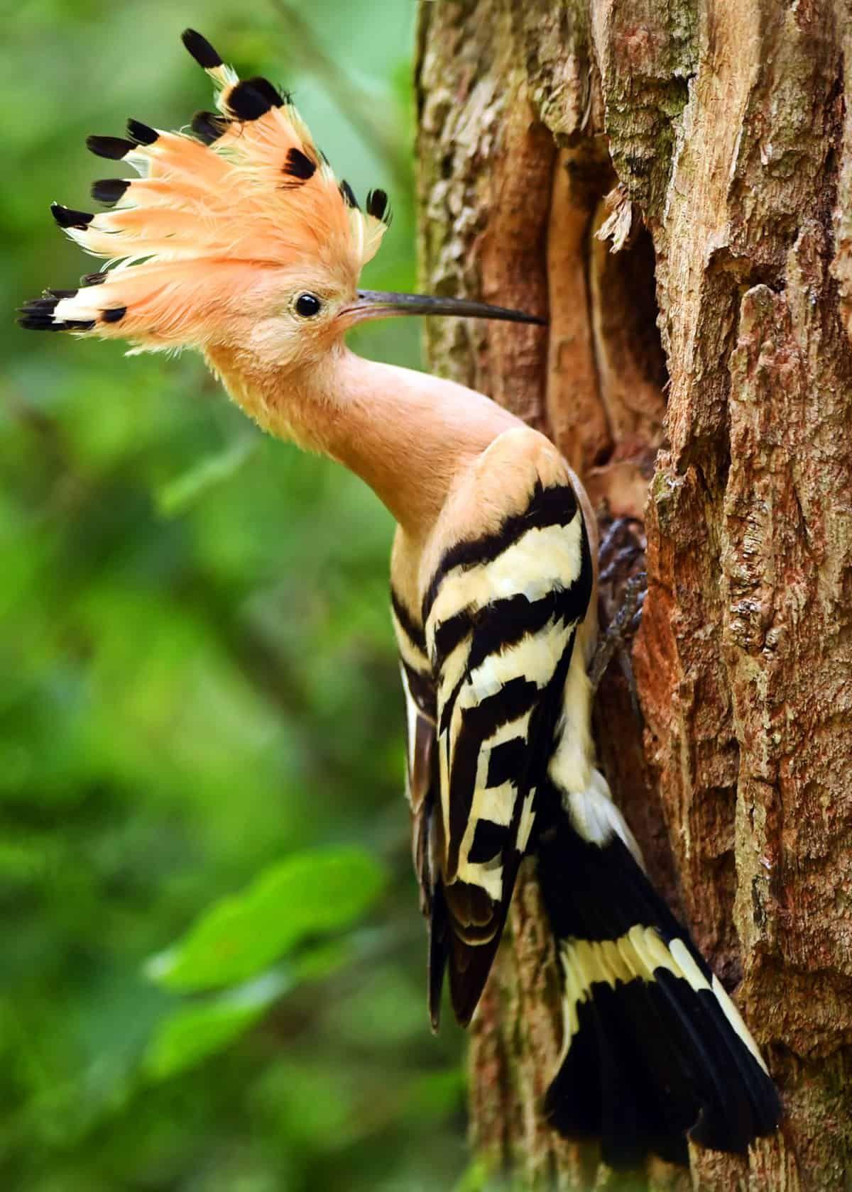 30 Hoopoe Facts Fly Catching Punk Rocker 3 Species Of Upupa